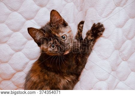 Young Kitty Snagged With Claws For A Blanket, Looks Into The Camera, Portrait