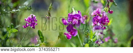 Pink Flowers Of Lathyrus On A Green Background