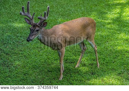 A Single Whitetail Male Deer Young Buck Standing Quietly In The Yard Posing With Its Velvety Antlers