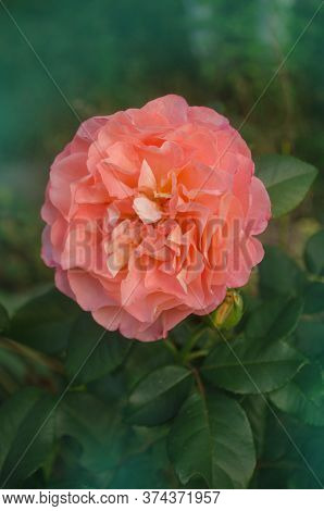 Blooming Peach Rose Rose Orange Augusta Luise. Rose With Wavy Edges Of Petals