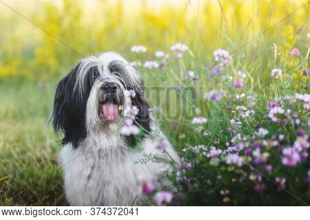 Beautiful Tibetan Terrier Dog  Sitting Outside Among Wildflowers Selective Focus. He Is Sticking His