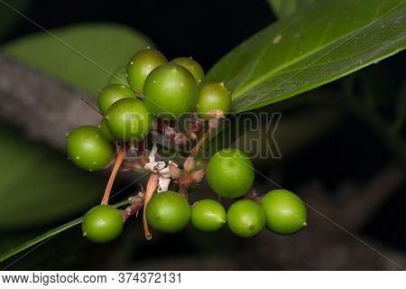 Tender Fruit Of Ber, Ziziphus Mauritiana, Rhamnaceae