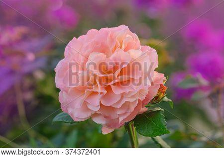 Beautiful Orange Rose Augusta Luise.