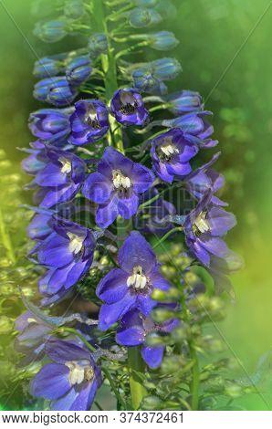Delphinium Blue Flowering Plant.
