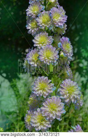 Delphinium Crystal Delight