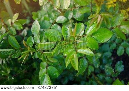 Green Rose Leaf Growing On The Branches