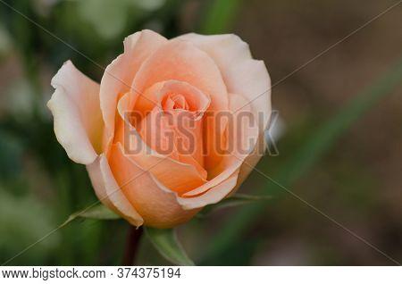 English Beautiful Orange Rose