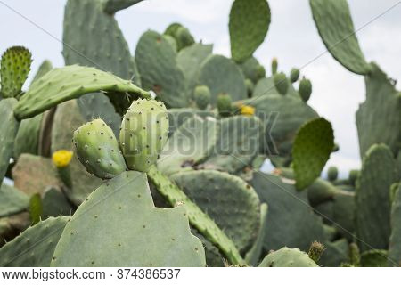 Fruit Of The Cactus - Opuntia Ficus Indica