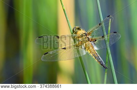 Four Spotted Libellula Or Four Spotted Chaser Dragonfly Perched On Grass.