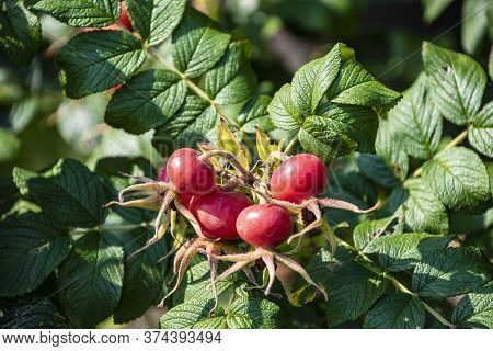 Rose Hips On Wild Rose Bush, Close Up. Rosa Rugosa Hips In Summer.