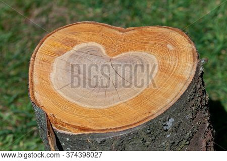 Tree Trunk  Cut In Half Shows A Love Heart Shape Growth Rings. Love Wood, Trees And Nature Concept