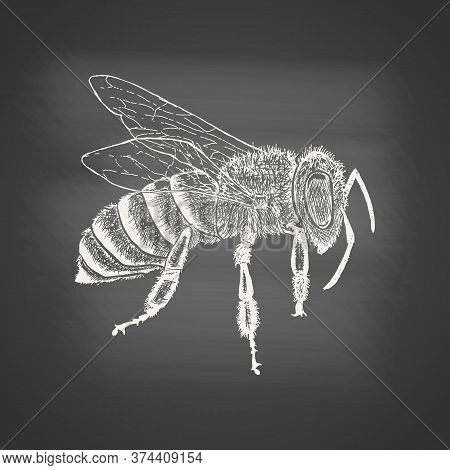 Honeybee - Chalk Drawing On The Blackboard. Hand Drawn Sketch In Vintage Engraving Style. Insect Vec