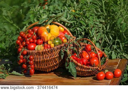 Tomatoes In A Basket On A Nature Background