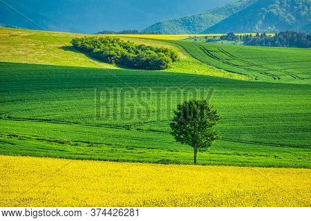 Spring Rural Landscape With Rapeseed Fields And With Lonely Tree At Grassy Green Meadow. Rajec Valle