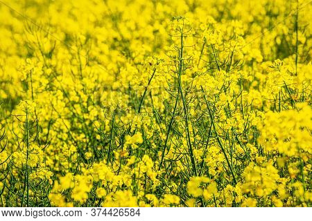 Oilseed Rape In Close-up View In A Field In Spring.