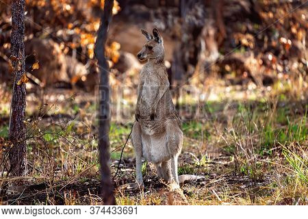 An Australian Kangaroo Standing On Its Hind Legs Looking Around In A Bushland Setting
