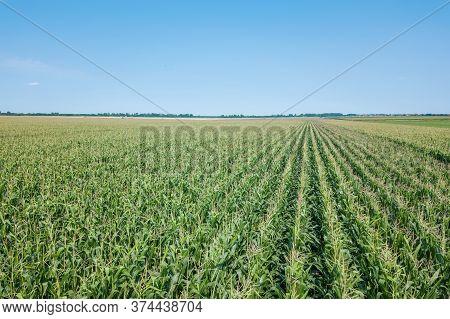 Green Corn Field, Corn Field.