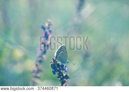 Beautiful Adonis Blue Butterfly On Flower In Field, Closeup. Space For Text