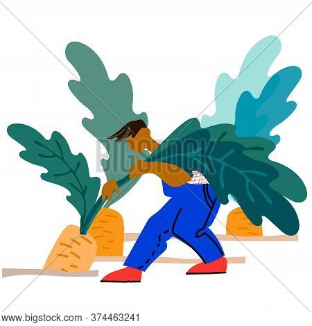 Man Picking Carrot Vector Illustration. Harvesting Concept. Agritourism, Pick Your Own Concept. Fres