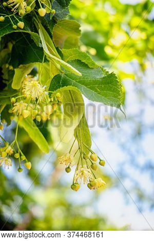 Linden Tree Blossoms In Summer. Close Up.