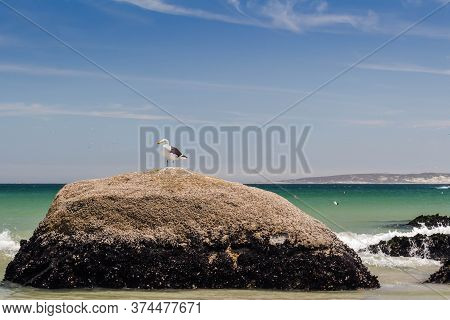 Single Seagull Perched On A Rock At The Beach - Lonely Seabird At The West Coast In South Africa