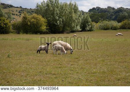 Lambs And Sheep In A Field In The West Oxfordshire Countryside In The Uk
