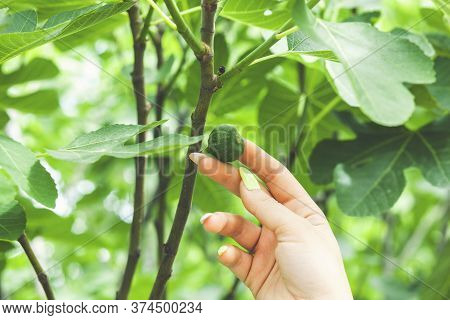 A Young Woman Holds Figs In Her Hand. Ginseng Checks The Fig Fruit For Ripeness. Fig Tree With Fruit