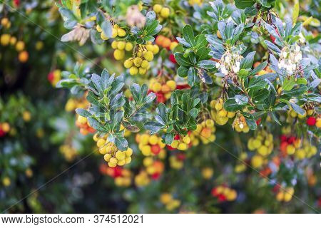 Arbutus Fruits And Flowers On The Tree