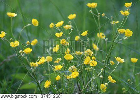 Yellow Ranunculus Acris On The Spring Sunny Lawn.