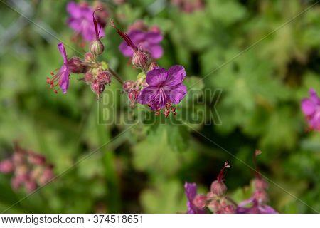Flowering Erodium Cicutarium, Redstem Filaree, Redstem Stork's Bill, Common Stork's-bill Or Pinweed