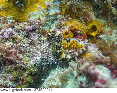 A Green And Yellow Seahorse At A Colorful Tropical Coral Reef In Gato Island, Malapascua, Philippine