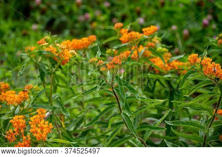 Botanical Collection Of Insect Friendly Or Decorative Plants And Flowers, Asclepias Tuberosa Or Milk