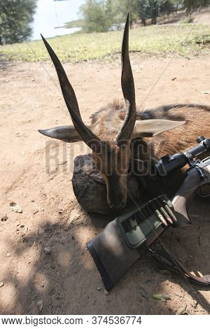 Hunting Trophy African Antelope Bushbok And The Butt Of The Rifle With Cartridges. Traditional Hunti