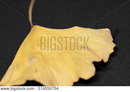 Macrophotography Of Yellow Ginkgo Leaf On Black Background