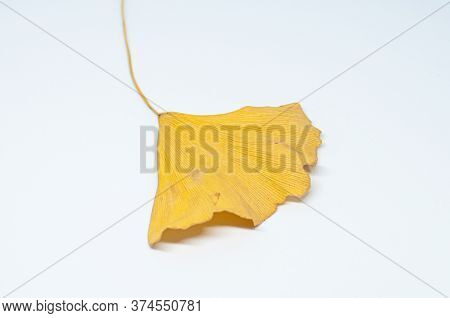 Macrophotography Of Yellow Ginkgo Leaf On White Background