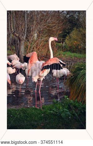 A Lot Of Pink Flamingos In One Place. Flamingos On The Grass Near The Lake. Postcard With Birds