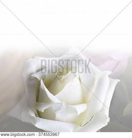 Close Up Of Clean Triangle White Rose With Beautiful Petals. Square With Copy Space For Text Or Desi