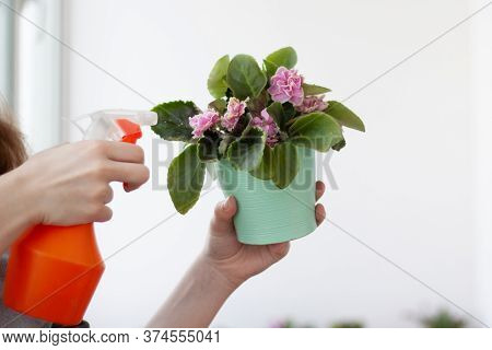 Indoor Flower Violet In A Pot Is Held By A Hand, The Other Hand Sprays From A Spray Gun
