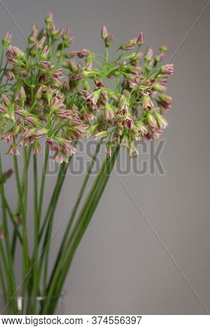 Chives Or Allium Schoenoprasum Blooming Flowers In Glass Vase On Gray Background, Selective Focus