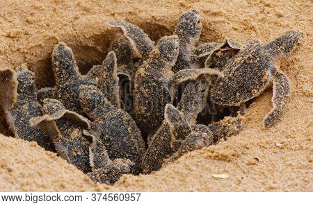 Loggerhead Baby Sea Turtles Hatching In A Turtle Farm In Sri Lanka, Hikkaduwa. Srilankan Tourism
