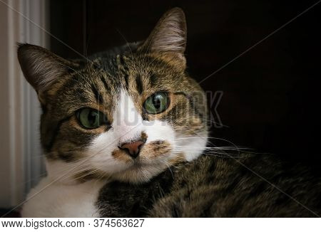 Close Up Face Of Calico And White Tabby Cat With Bright Eyes And Long Whiskers.