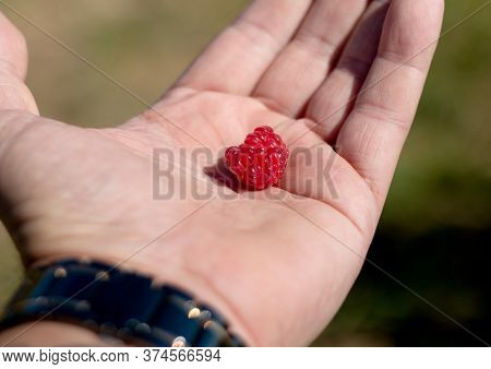 Raspberries In The Male Palm On A Summer Day, Kibbutz Ein Zivan, Israel