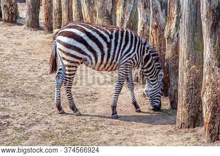 Crawshay's Zebra Is Native Of Zambia. Cute African Striped Animal .detour For Animals With Log Fence