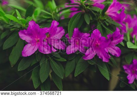Bright Pink Rhododendron Flowers Close-up. Blooming Azalea With Green Leaves On A Blurred Background