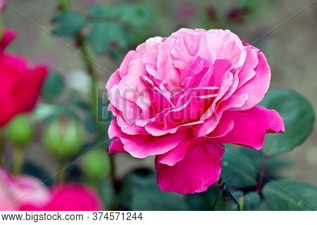 Pink Rose In The Garden. Pink Flower Of The Rose. Blooming Rose. Blossom Pink Rose.