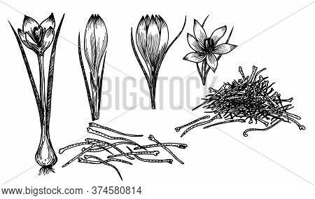 Saffron Crocus Flower Vector Sketch Drawing. Hand Drawn Herb And Food . Engraved Vintage Flavor. Cro