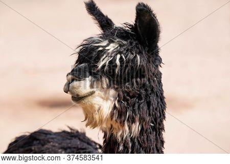 Close Up Of The Multi Color Shaggy Locks Of An Adult Suri Alpaca.