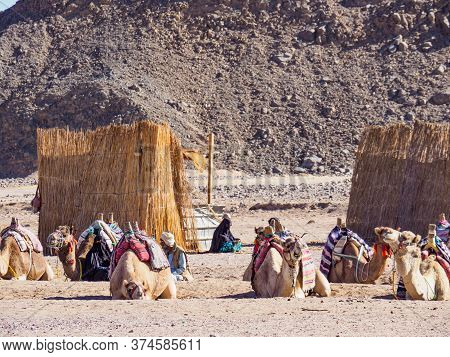Bedouin Village In Desert, Egypt - February 2020: Herd Of Camels Resting Near Yellow Reed Sheds, Med