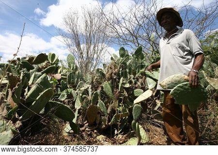 Vitoria Da Conquist, Bahia / Brazil - October 28, 2010: Farmer Cuts Cactus Leaf To Feed Cattle In Th