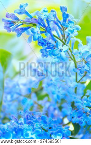 Blurred Sky Blue Flowers Background. Lilac Branch With Flowers. Photo With Soft Focus. Place For Tex